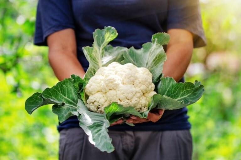 Blumenkohl - Ratgeber - Alles was man wissen muss